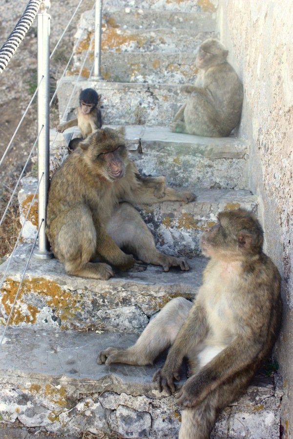 Barbary Macaque Steps