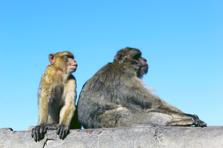 Barbarymacaque10