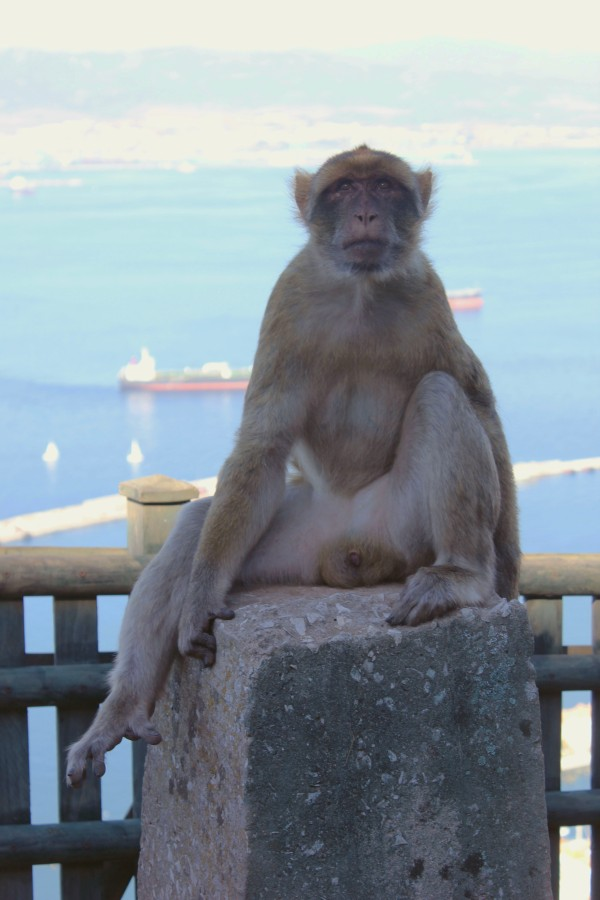 Barbarymacaque14