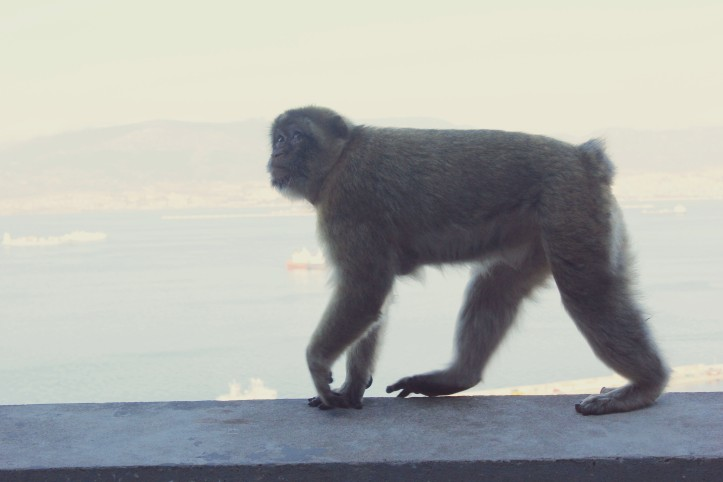 Barbarymacaque4
