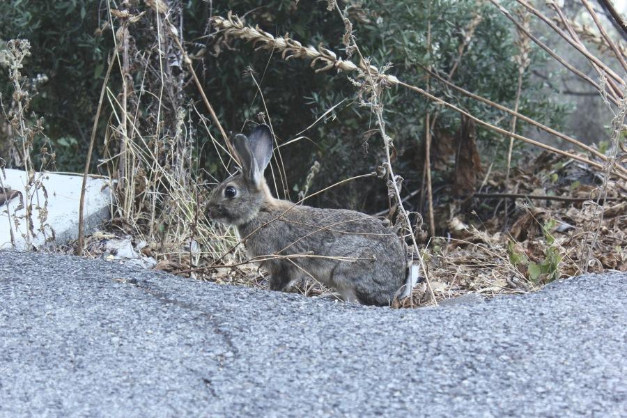 Rabbit Gibraltar